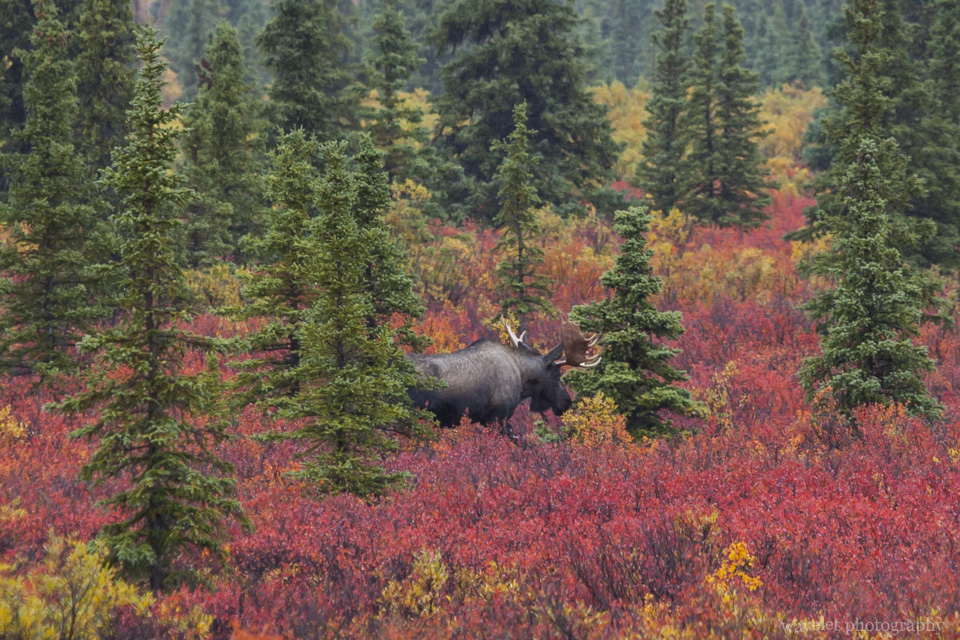Bull Moose, Denali National Park, Alaska