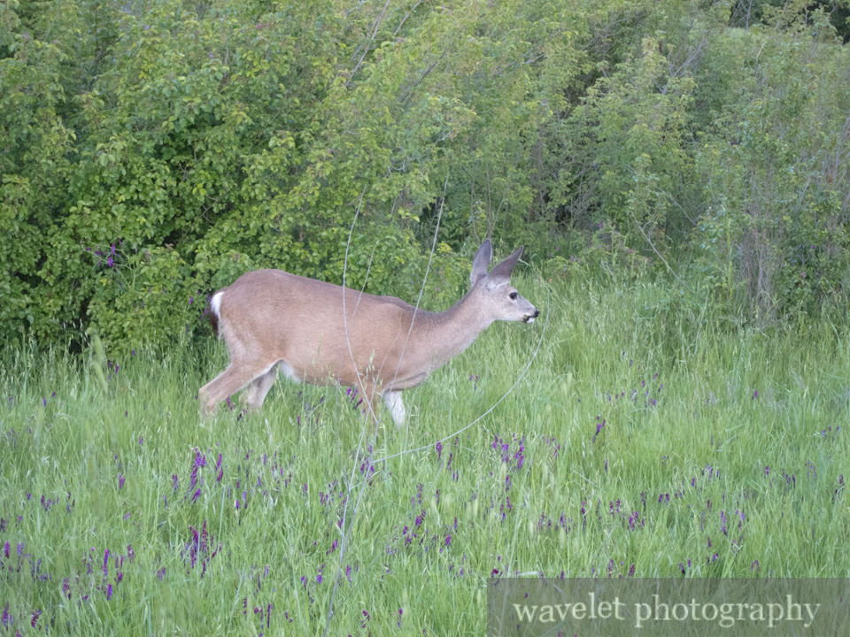 Deer, Alum Rock Park