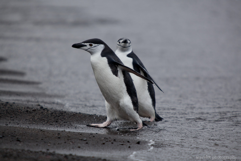 Chinstrap Penguins, Deception Island