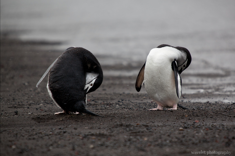 Chinstrap Penguins, Deception Island