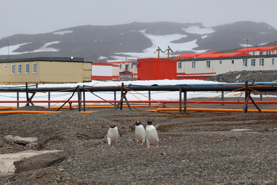 Gentoo Penguins at King George Island