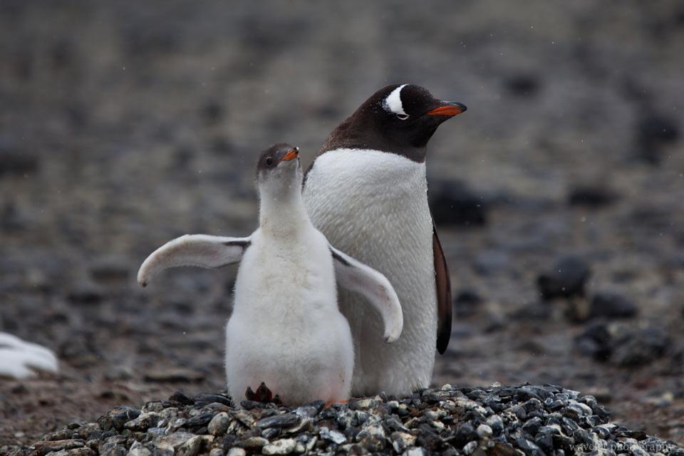 Gentoo Penguins, Brown Bluff