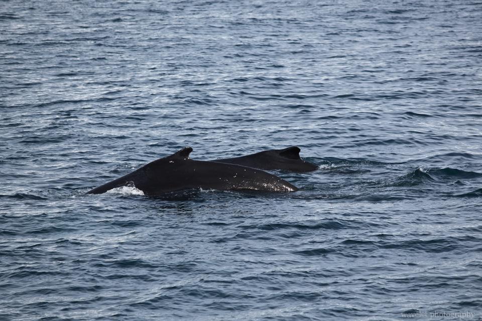 Humpback Whales, Antarctica