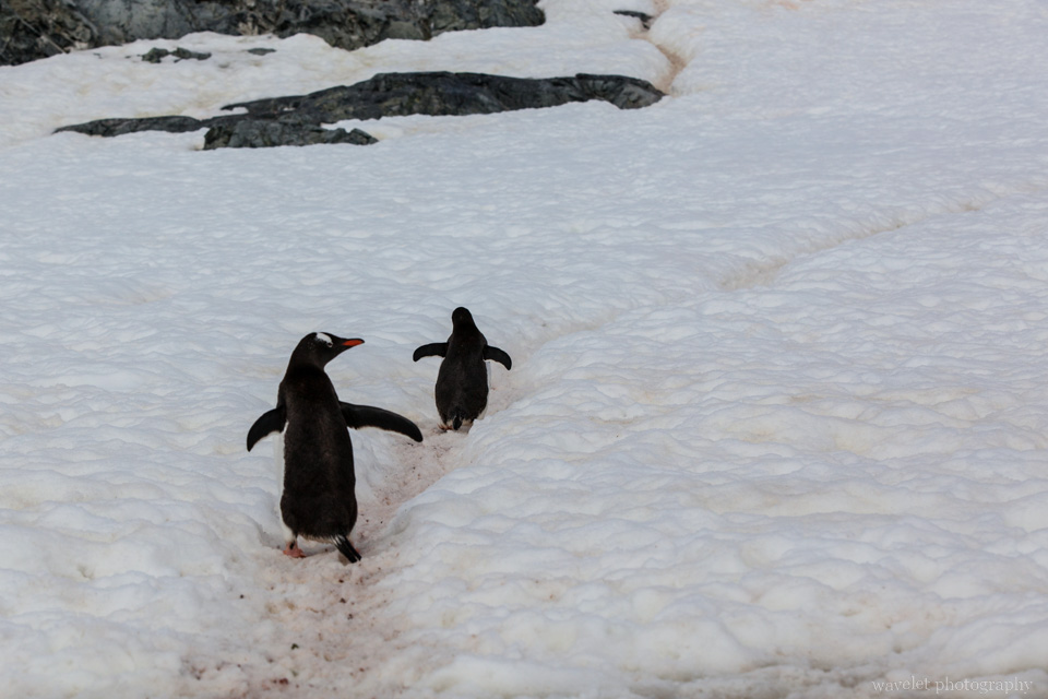 Gentoo Penguins and their highway system, Cuverville Island