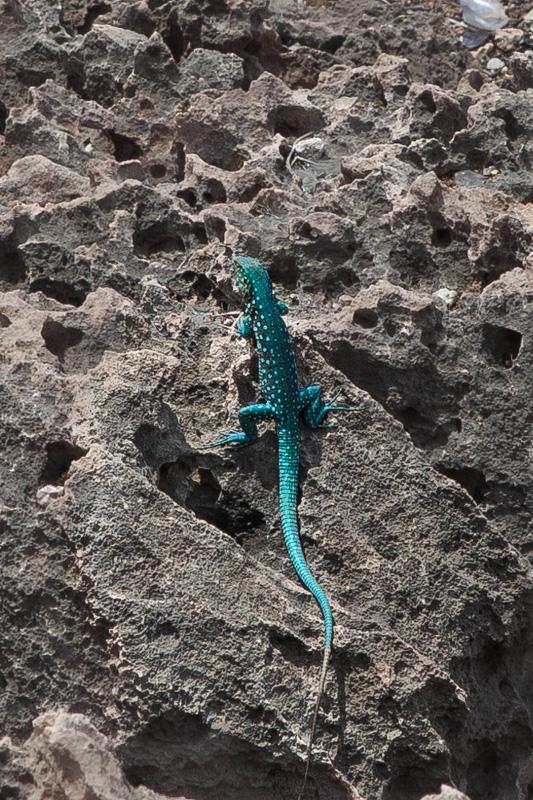 A colorful lizard, Aruba