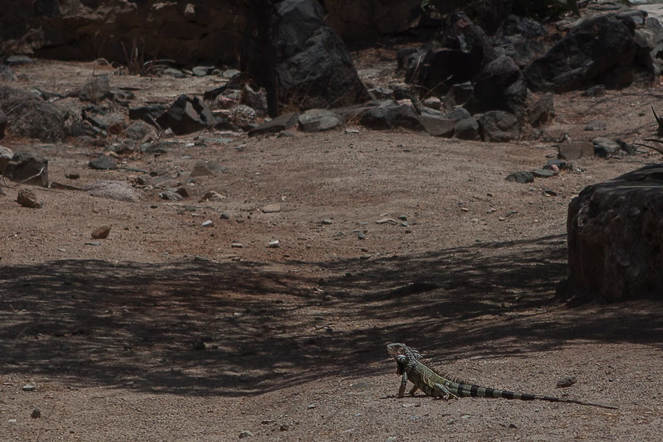 A lizard at Ayo Rock Formations, Aruba