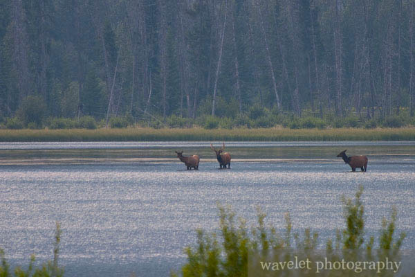 Elks in Vermilion Lake, Banff