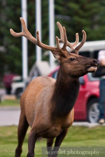 Elks in Banff Town, Banff