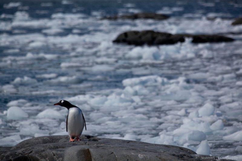 A Gentoo Penguin, Port Lockroy, Antarctica