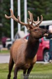 Elks in Banff Town, Banff