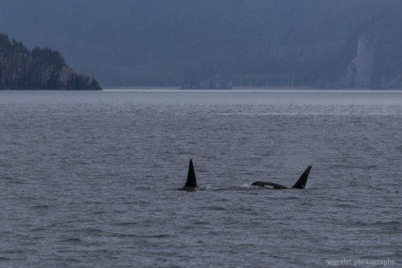 Killer Whales, Kenai Fjords National Park, Alaska