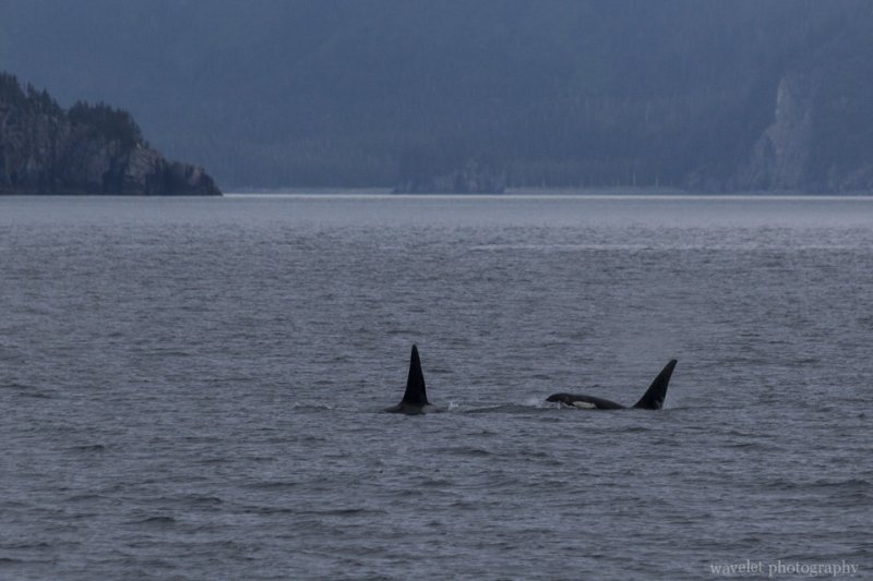 Killer Whales, Kenai Fjords National Park, Alaska