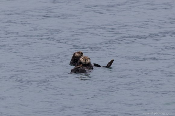 Sea Otters, Kenai Fjords National Park, Alaska