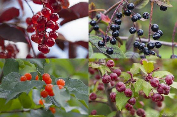 Alaska Berries, Georgeson Botanical Garden, Fairbanks, Alaska