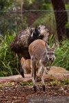 Emu and Walleby