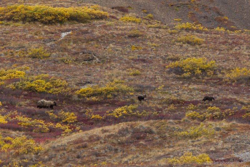 Bears, Denali National Park, Alaska