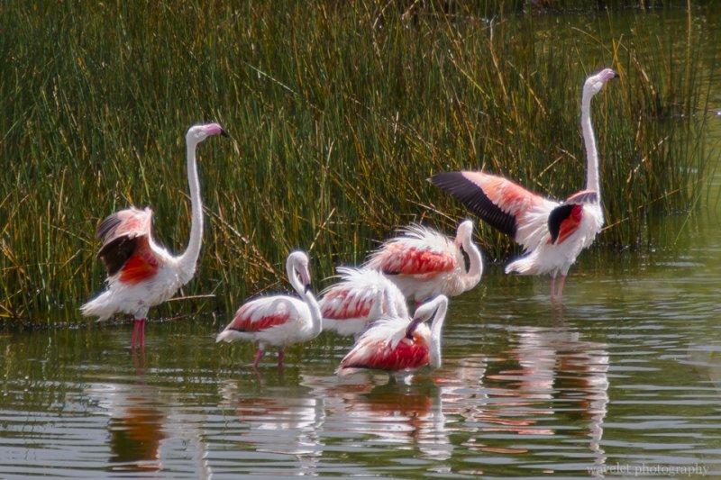 Greater Flamingo, Arusha National Park, Tanzania