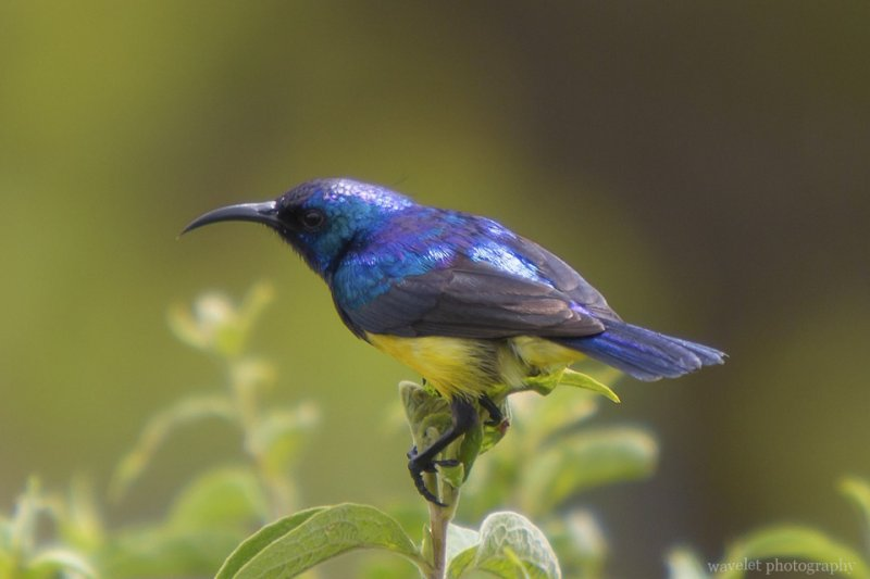 Collared Sunbird, Arusha National Park, Tanzania