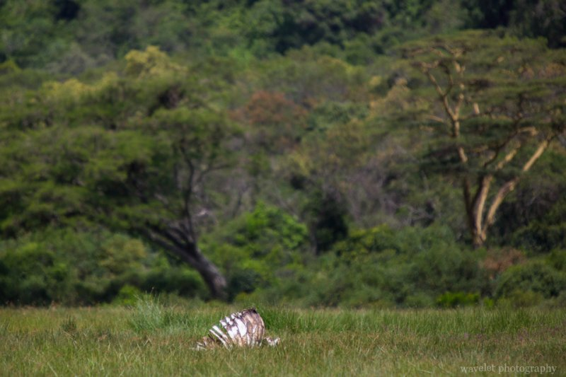 A Zebra skeleton at Buffalo Glade, Arusha National Park, Tanzania