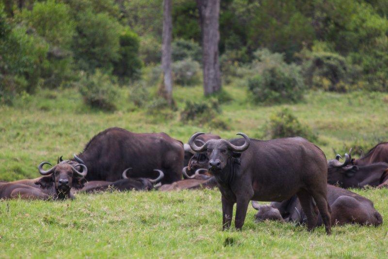 Buffaloes at Buffalo Glade, Arusha National Park, Tanzania