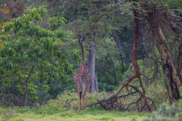 A Giraffe at Buffalo Glade, Arusha National Park, Tanzania