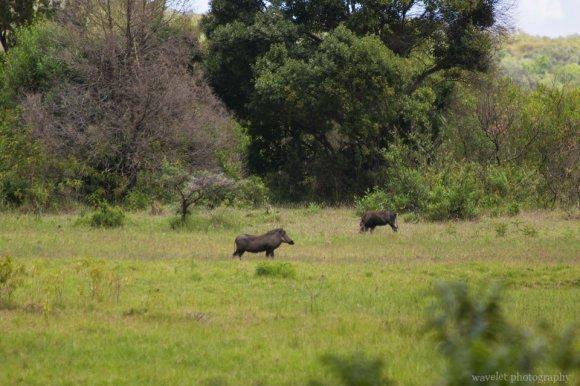 Bushpigs at Buffalo Glade, Arusha National Park, Tanzania