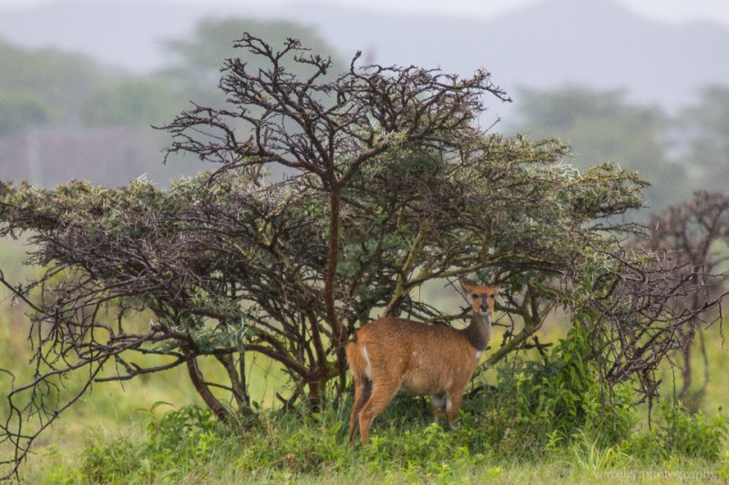 A Bushbuck found shield under the Whistling Thorn tree, Arusha National Park, Tanzania