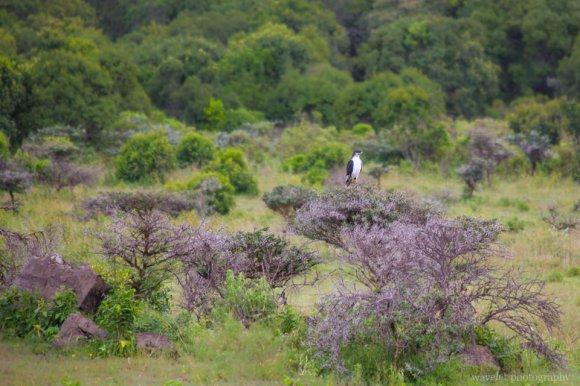 An African Hawk Eagle, Arusha National Park, Tanzania