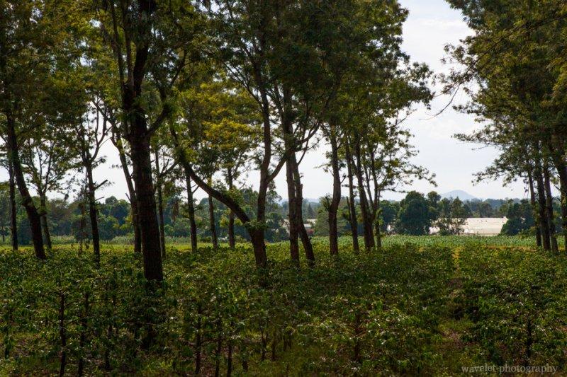 Coffee plantation near Arusha, Tanzania