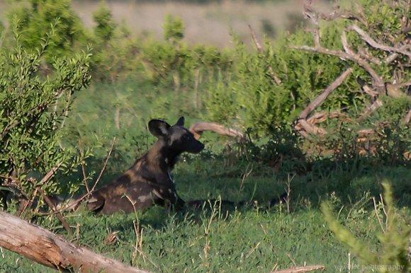 African Hunting Dog, Tarangire National Park
