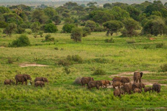 Elephants, Tarangire National Park