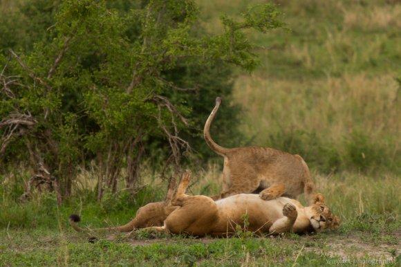 Lions, Tarangire National Park