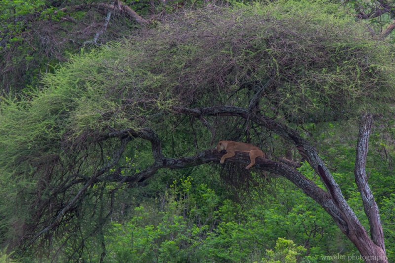 Lion lying on the tree, Tarangire National Park