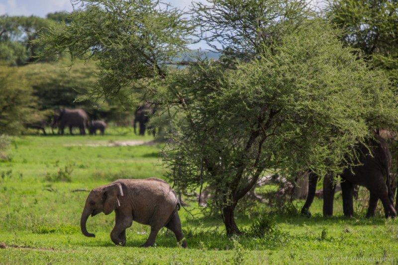 A baby elephant, Tarangire National Park
