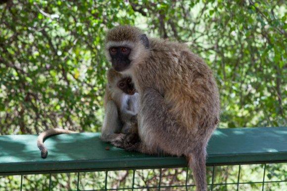 Black-faced Vervet Monkey, Tarangire National Park