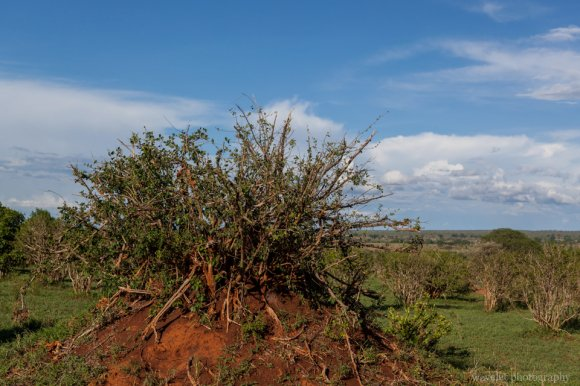 Termite mounds, Tarangire National Park