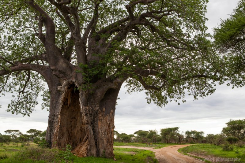 Boabab tree, Tarangire National Park