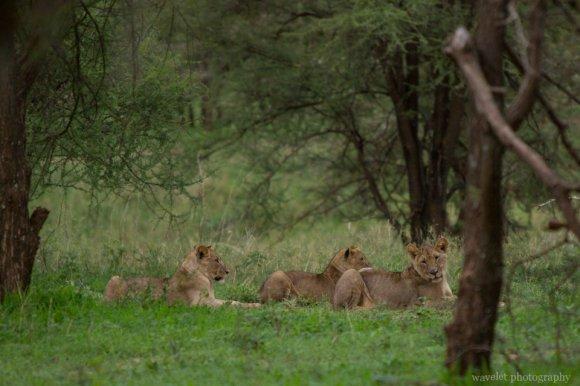 Lions in the bush, Tarangire National Park