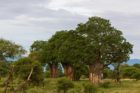 Baobab Trees in Tarangire National Park