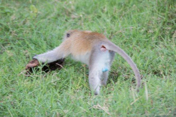 Blue-ball monkey, Lake Manyara National Park