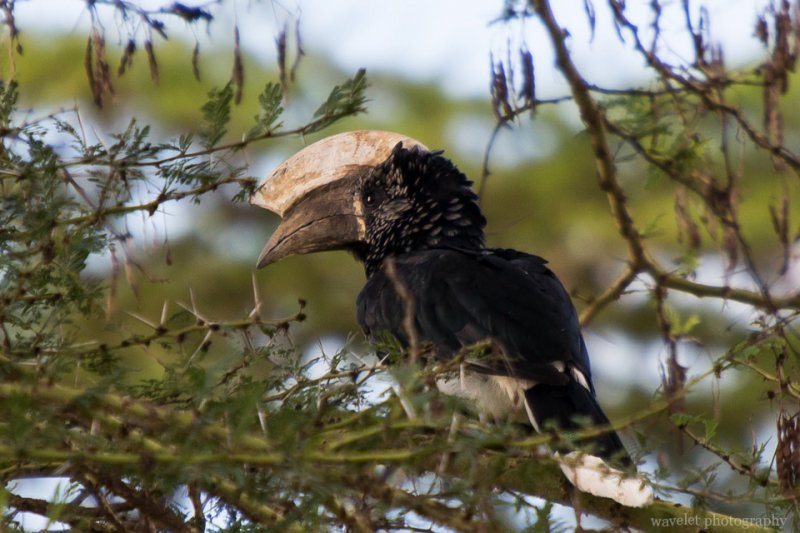 Silvery-cheeked Hornbill, Lake Manyara National Park