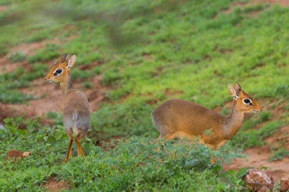 Dik-dik, Lake Manyara National Park