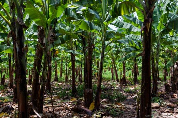 Banana field near Mto wa Mbu