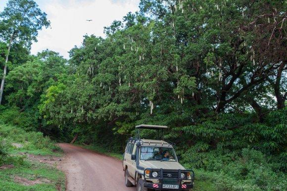 Sausage trees, Lake Manyara National Park
