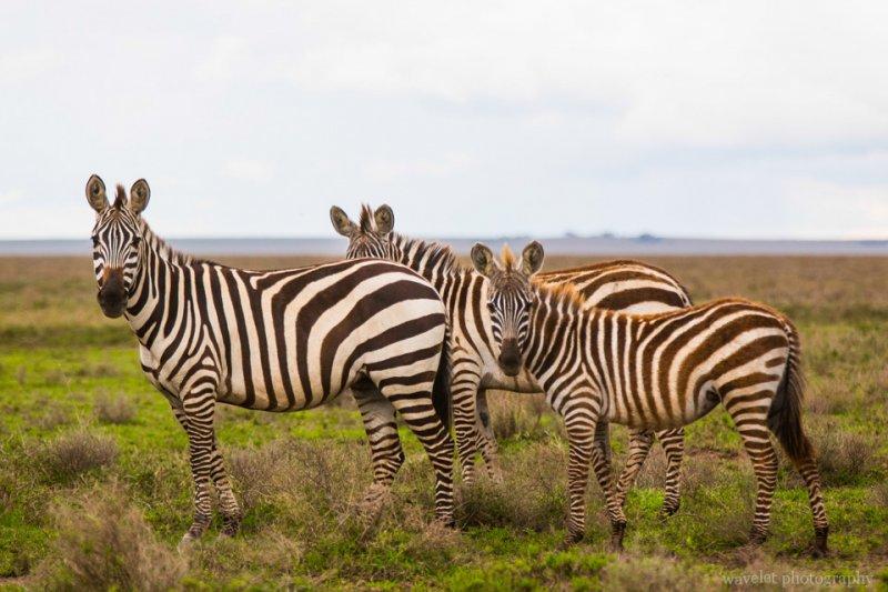 Zebras in migration near Serengeti National Park