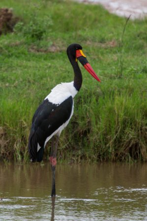 Saddle-billed Stork, Serengeti National Park