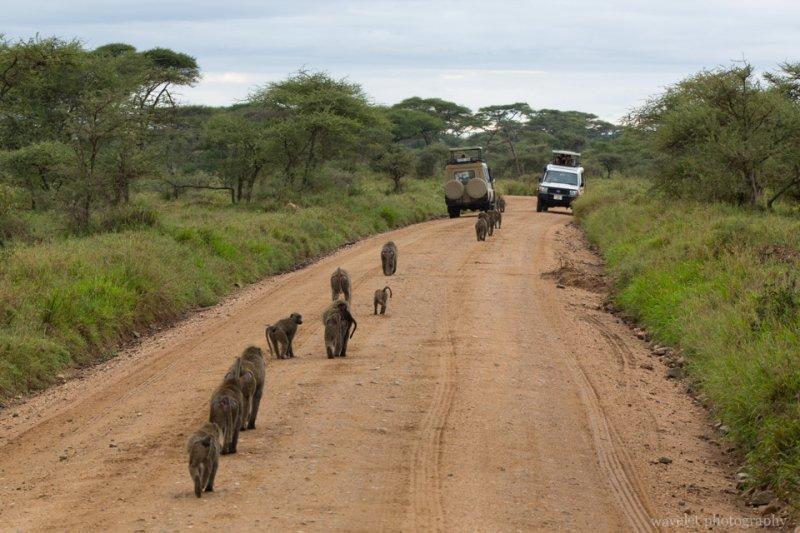 Baboon troop, Serengeti National Park