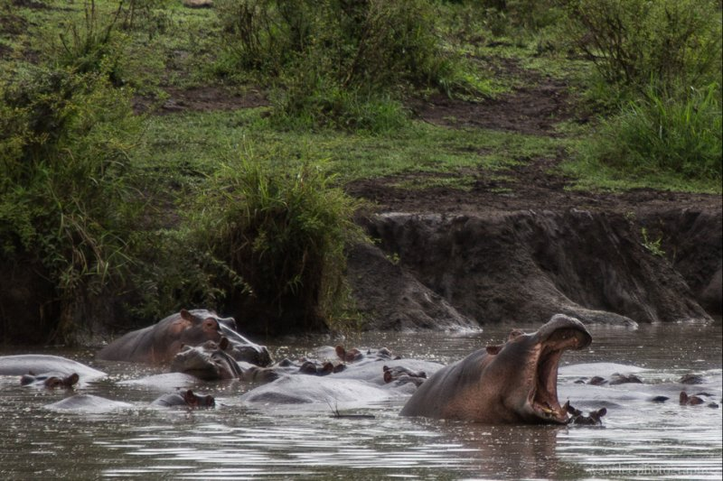 Hippos in the pond, Serengeti National Park