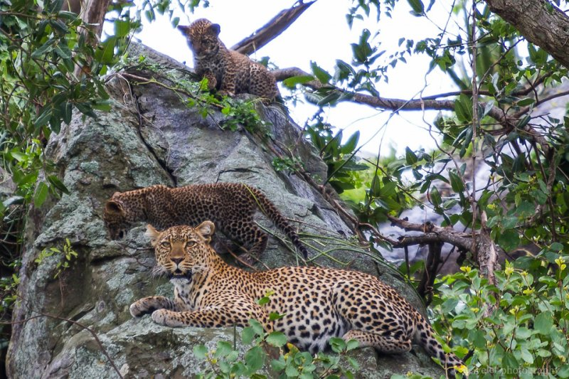 A leopard with her cubs, Serengeti National Park
