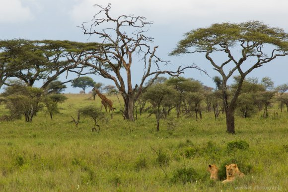 Young lions with a giraffe in sight, Serengeti National Park